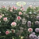 虎クリガーデンのバラが見ごろです